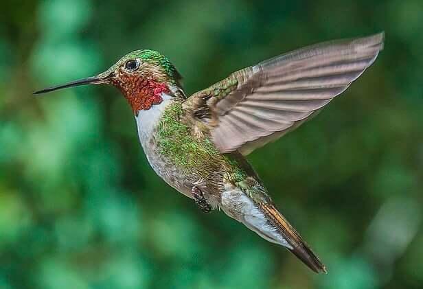 hummingbirds essay