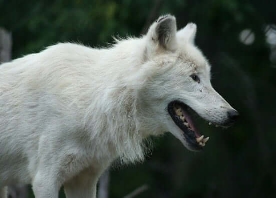 Wolf Animal Totem Symbolism Meanings Sun Signs