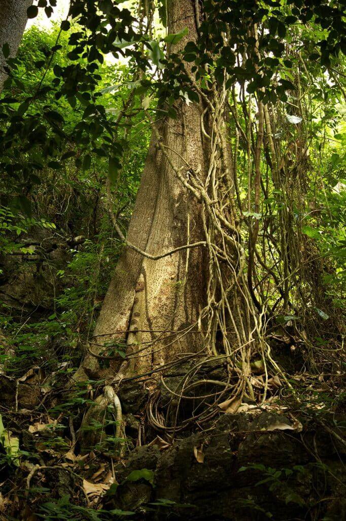 celtic vine tree