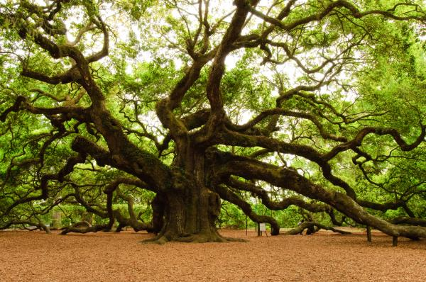 Celtic oak tree