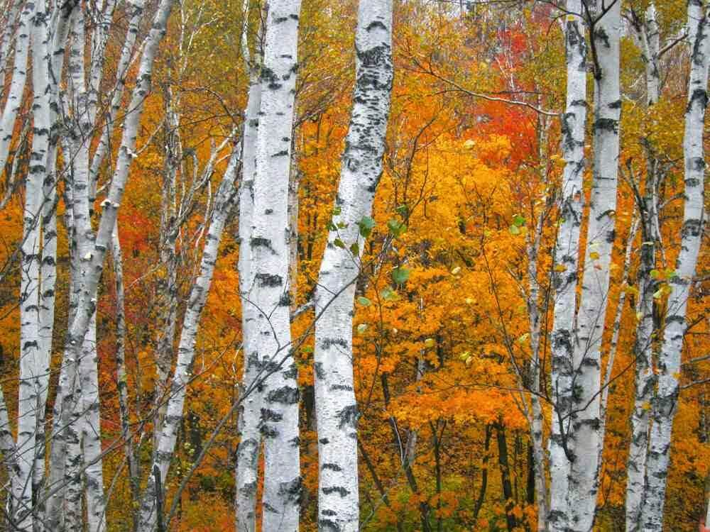 If you were born between December 24th - January 21st then your sign in Celtic tree astrology sign is the BIRCH TREE.