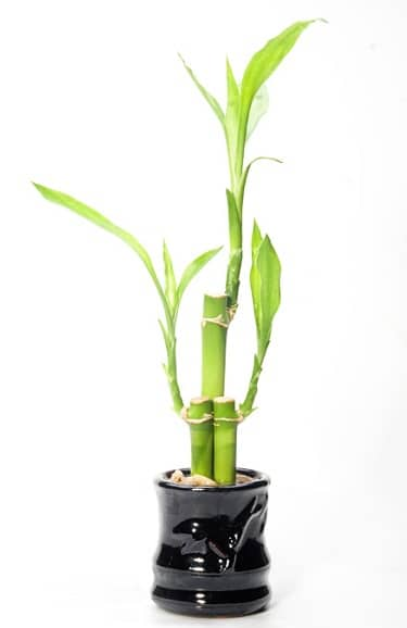This could either be a good luck bamboo, a money plant or an air purifying plant