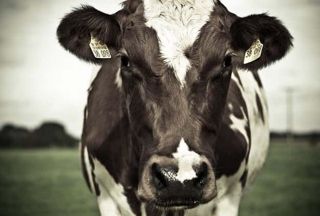 cow spirit animal