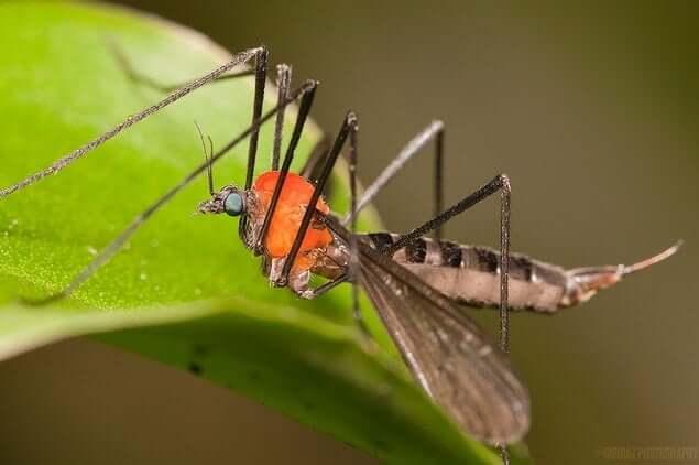 crane-fly