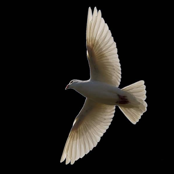 Dove Animal Totem Symbolism Meanings Sunsigns