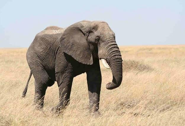 Elephant Animal Totem ...