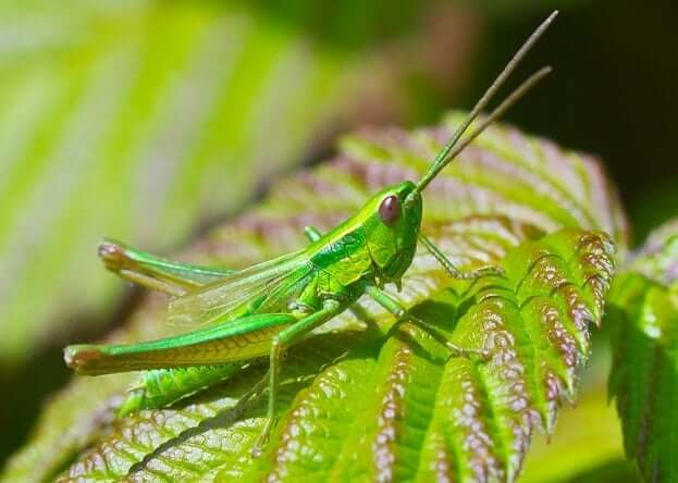 Grasshopper Animal Totem Symbolism Meanings Sunsigns