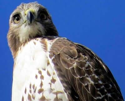 Hawk Animal Totem Symbolism Meanings Sunsigns
