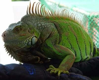 Iguana Animal Totem Symbolism & Meanings | SunSigns Org