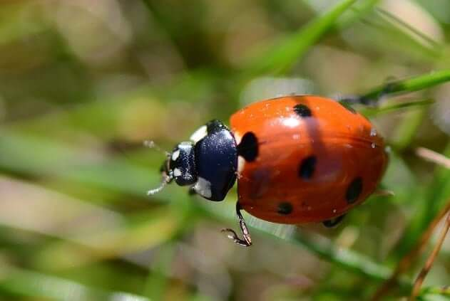 Ladybug Animal Totem Symbolism Meanings Sunsigns