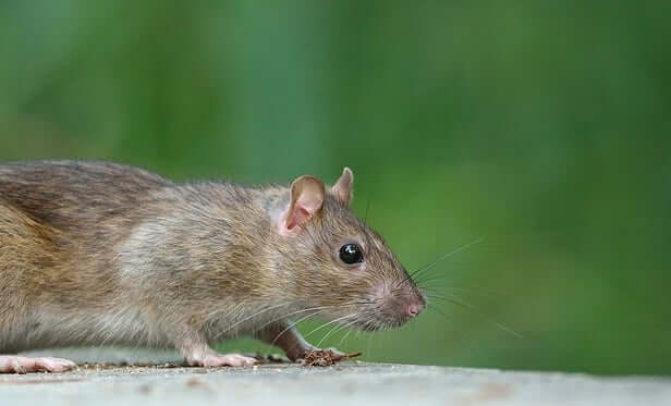 Mouse Spirit Animal