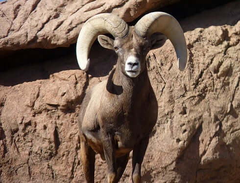 Ram Animal Totem Symbolism Meanings Sun Signs