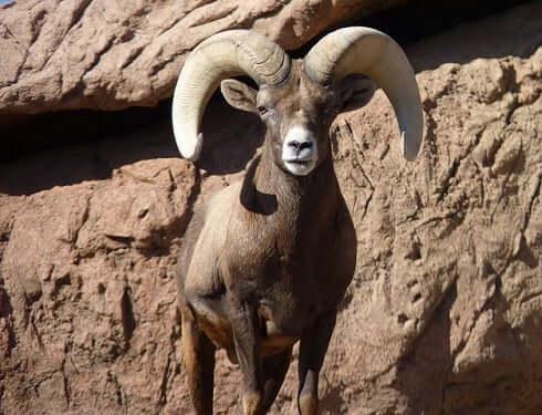 Ram Animal Totem Symbolism & Meanings