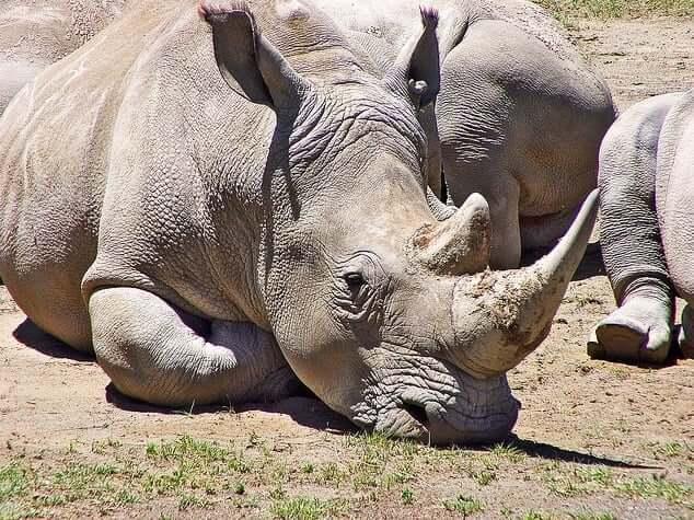 rhinoceres