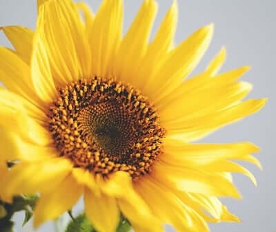 sunflower symbolic meaning  sun signs, Natural flower