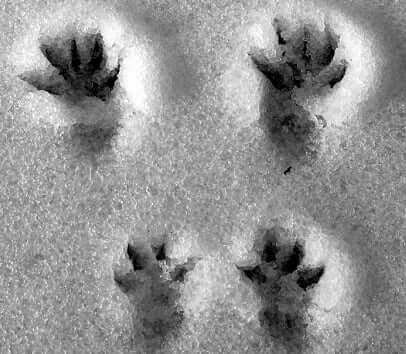 squirrel-tracks