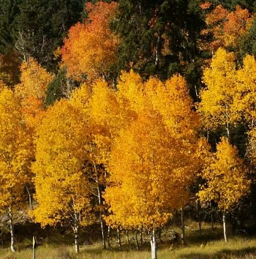 Aspen tree symbolism sun signs What is the meaning of tree