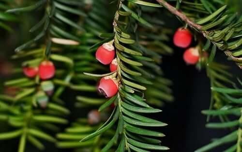 Yew Tree Symbolism | SunSigns Org