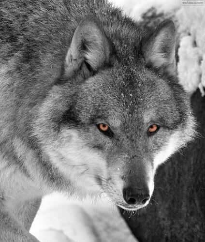 Wolf Medicine Symbolism