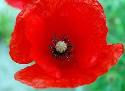 Poppy symbolism meanings sun signs poppy mightylinksfo