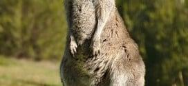 Kangaroo Animal Totem Symbolism & Meanings