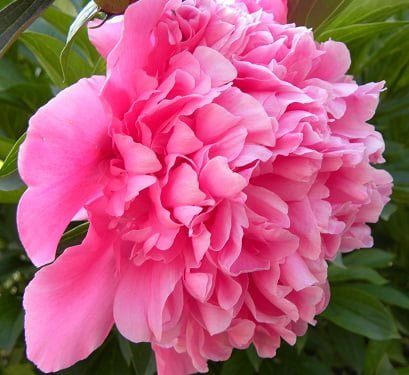 peony chinese flowers meanings