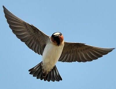 swallow spirit animal