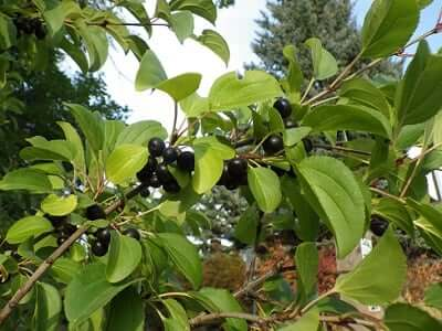 blackthorn tree meaning