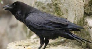 crow animal totem