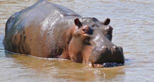 hippopotamus-animal-totem