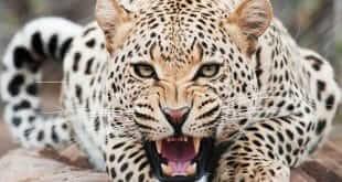 leopard-animal-totem