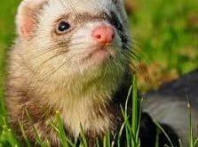 weasel-animal-totem
