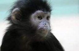 feng-shui-monkey