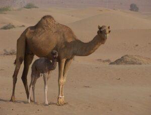 Camel Spirit Animal