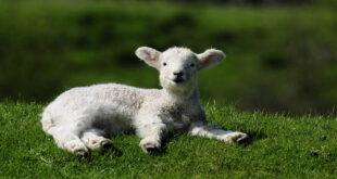 lamb spirit animal
