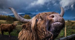 yak spirit animal