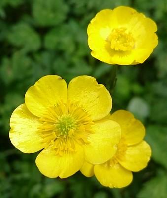 buttercup flower symbolism
