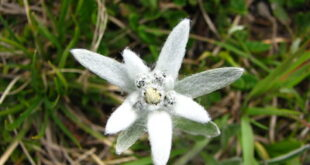 edelweiss flower symbolism
