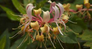 honeysuckle flower symbolism