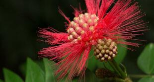 mimosa flower symbolism