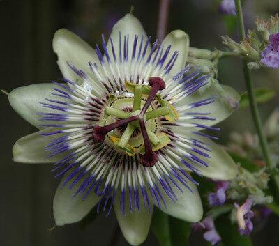 passion flower symbolism