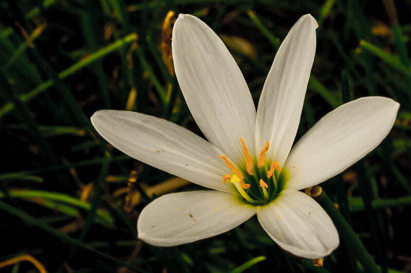 peace lily flower symbolism