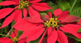 star of bethlehem flower symbolism
